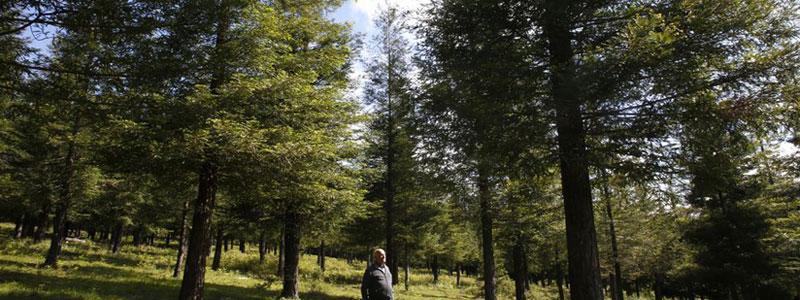 Bosque de Secuoyas en Poio Pontevedra Galicia